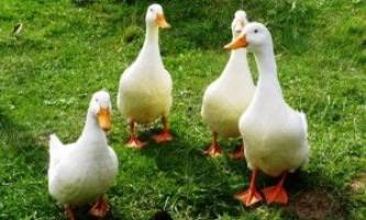 Кращі качки м`ясного напряму