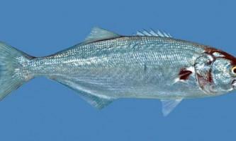 Луфарь - хижа риба чорного і азовського морів