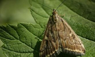 Лучний метелик або «метелиця»