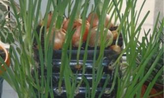 Лук в пляшці: секрети вирощування