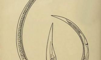 Цибулева нематода. Опис і фото хробака-шкідника