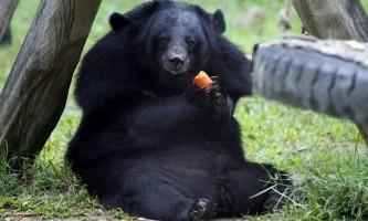Місячні ведмеді в заповіднику там-дао