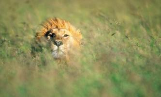 Леви полюють не гірше левиць