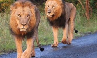Леви в кенійському заповіднику заблокували дорогу