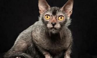 Lykoi cat - кішка, що нагадує вовка