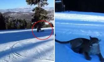 Лижник зіткнувся на трасі з гірським левом