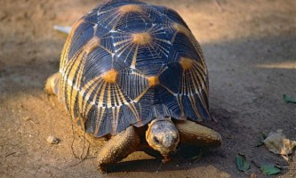 Мадагаскарські черепахи - красиві і дуже рідкісні тварини