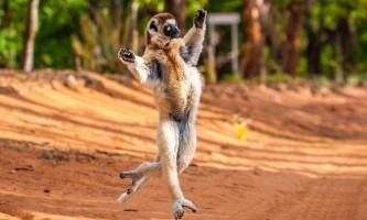 Мадагаскарський лемур продемонстрував ходу короля джуліана