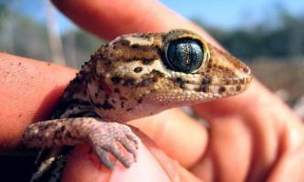 Мадагаскарський земляний гекон - ендемік мультяшного острова