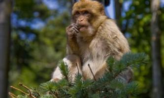 Магот: фото давньої мавпи
