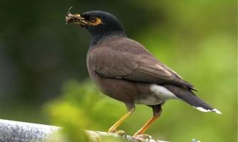 Майна звичайна - балакуча птах