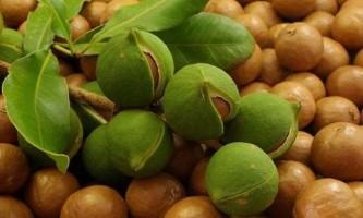 Макадамия - найдорожчі горіхи в світі
