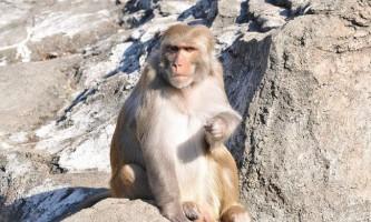Макак-резус: експериментальна мавпа