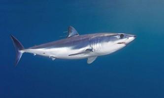Мако: найшвидкісніша серед акул