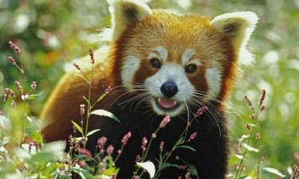 Мала панда - вимираючий вид