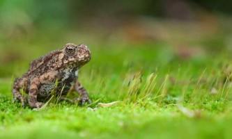 Малайська жаба: життя в природі і тераріумі