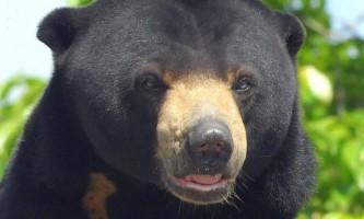Малайський ведмідь бируанг