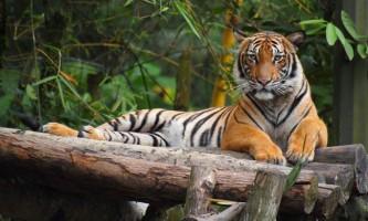 Малайський тигр - найменший серед побратимів