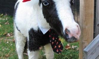 Найменшій конячці в світі 22 квітня виповнився рік