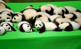 "Маленька панда впала на ""своїй"" презентації"