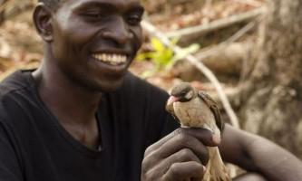 Маленькі африканські птахи допомагають мисливцям в пошуку меду