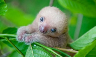 Маленькі лінивці