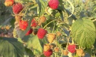 Малина геракл: опис сорту, посадка і вирощування