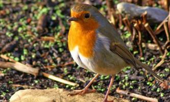 Малинівка: цікаві факти з життя червоногруді птахи