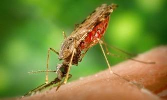 Малярійний комар - рознощик смертельного захворювання