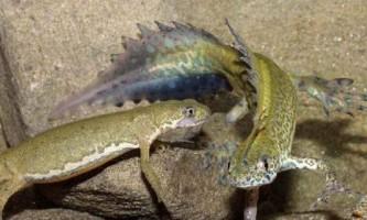 Малоазіатський тритон або смугастий тритон - казковий дракон