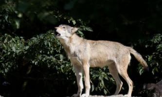 Зоологи знайшли у вовків діалекти