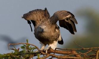 Малий рибний орел: як розпізнати по зовнішності