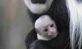 Малюк альбінос колобуса народився в зоопарку крефельд