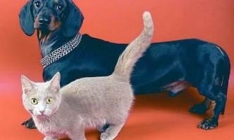 Манчкіни - кішки-такси