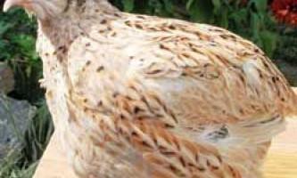 Маньчжурські золотисті перепела: зміст і розведення породи