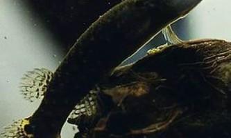 Мангрові рівулуси здатні прожити на суші два місяці