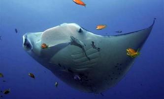 Манта або гігантський морський диявол (manta birostris)