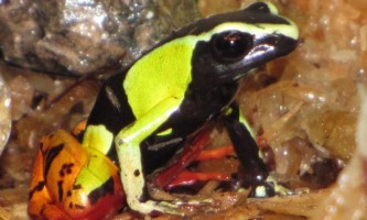 Мантелла - мадагаскарские жаби