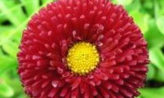 Маргаритка квітка