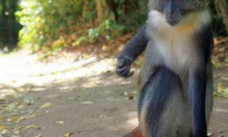 Мавпи - вузьконосі мавпи