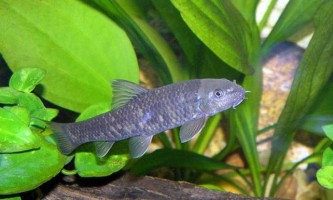 Масажні рибки гарра руфа