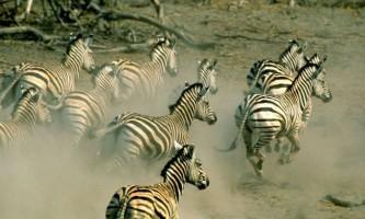 Масштабна міграція зебр в африці сильно здивувала біологів