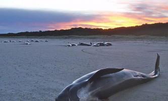 Масовий викид китів на сушу не є членом будь сімейними узами