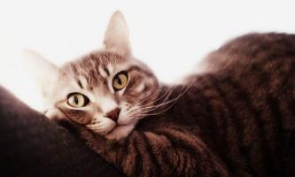 Містить у кішки: лікування в домашніх умовах
