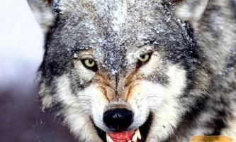 Досвідчені вовки - розумні, витривалі хижаки