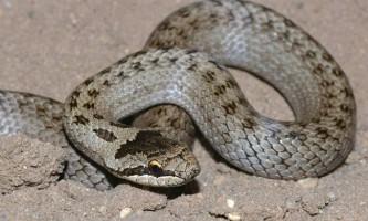 Мідянка звичайна - змія з червоними очима