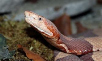 Медноголовая щитомордник - «маленький шахрай і злодій серед отруйних змій північної америки»