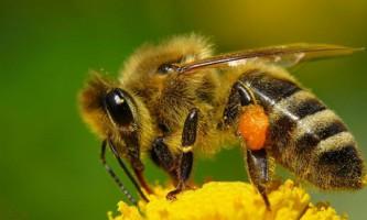 Медоносних бджіл