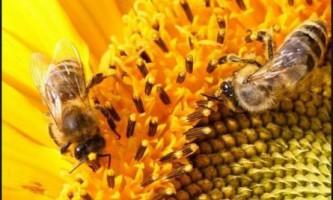 Медоноси для бджіл