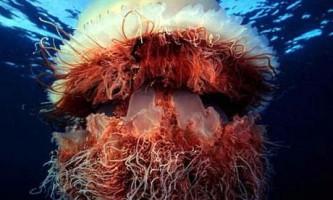 Медуза nomura - одна з найбільших медуз в світі